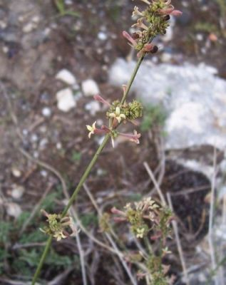 Asperula cynanchica -