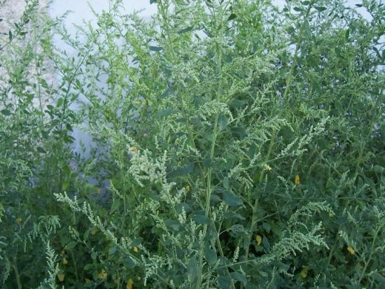Chenopodium album L.