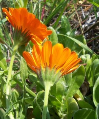 Calendula officinalis -