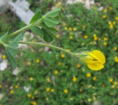 Lotus edulis