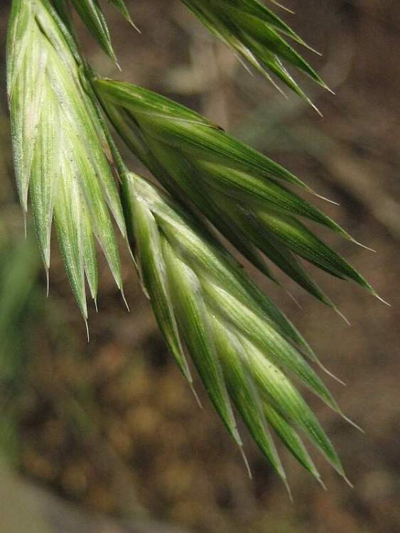 Ceratochloa cathartica,