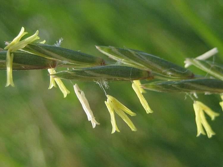 Elymus Repens L Gould Quackgrass