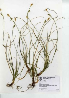 Carex michelii