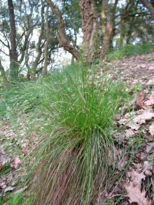 Carex distachya -