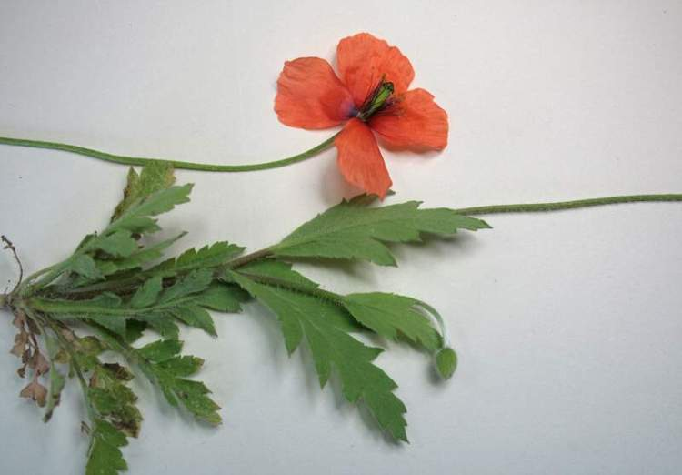 Papaver pinnatifidum,