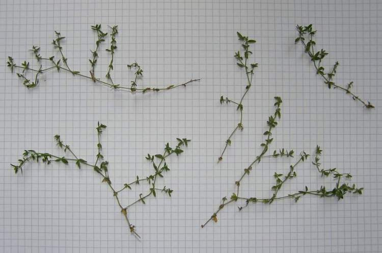 Galium murale (L.) All.