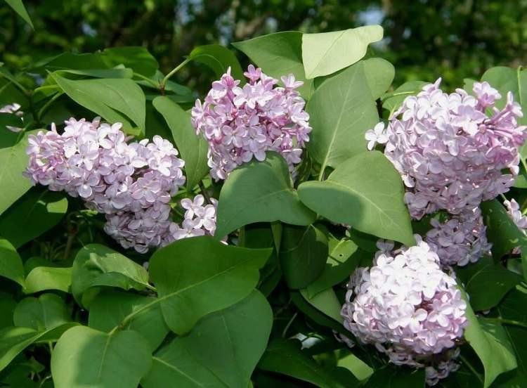 Syringa vulgaris lill - Syringa vulgaris ...