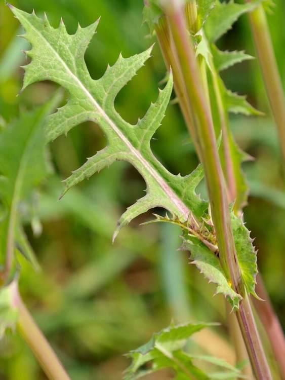 Sonchus asper subsp. asper -