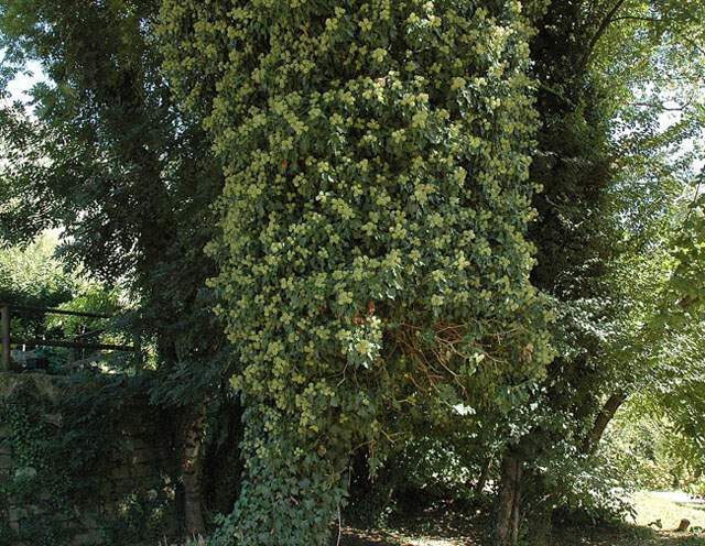 Hedera helix Lowe subsp. helix