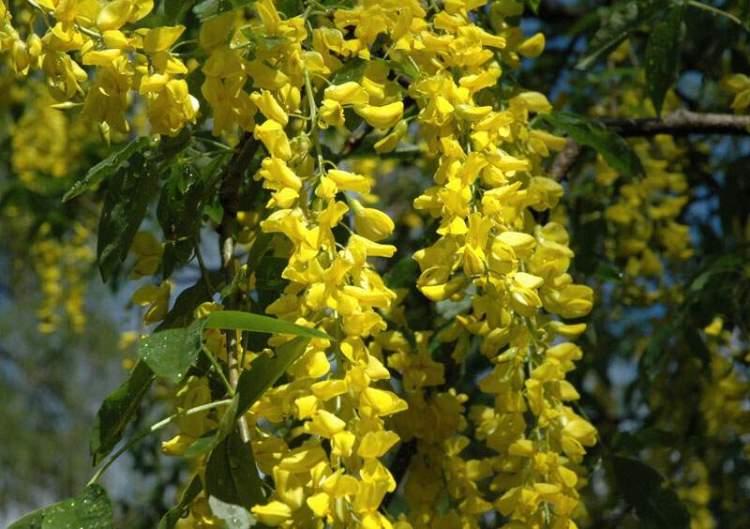 Laburnum alpinum maggiociondolo alpino for Pianta ornamentale con fiori a grappolo profumatissimi