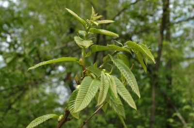 Castanea sativa Mill.