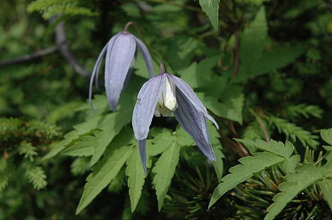 Clematis alpina,
