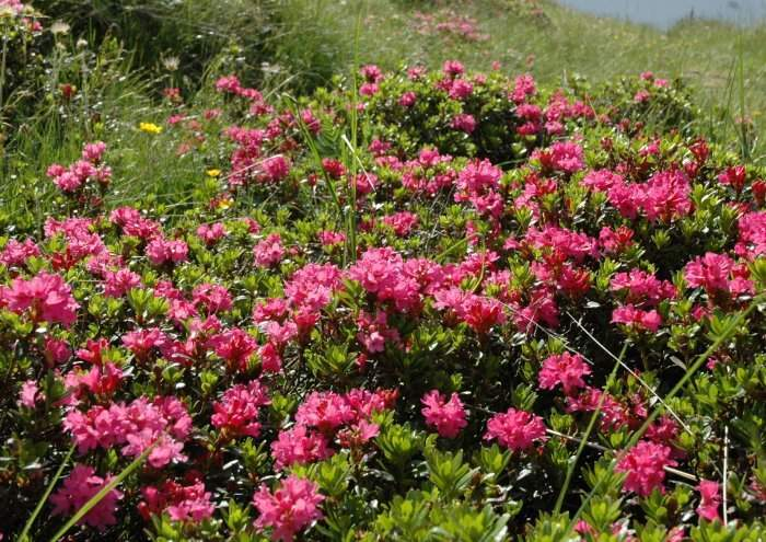 Rhododendron ferrugineum specie della flora italiana for Rododendro pianta