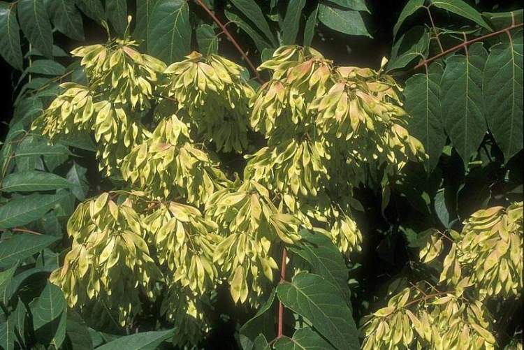 ailanthus altissima specie della flora italiana