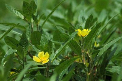 Ludwigia peploides subsp. montevidensis