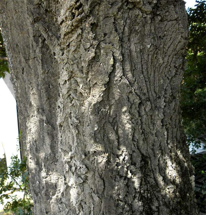 Quercus Congesta Quercus crenata...