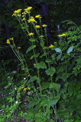 Doronicum pardalianches -