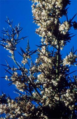 Colletia hystrix -