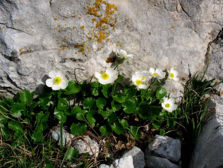 Ranunculus magellensis,