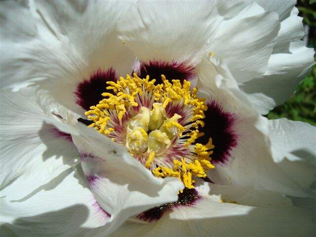 Paeonia suffruticosa Andrews