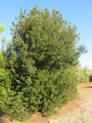 Quercus calliprinos -