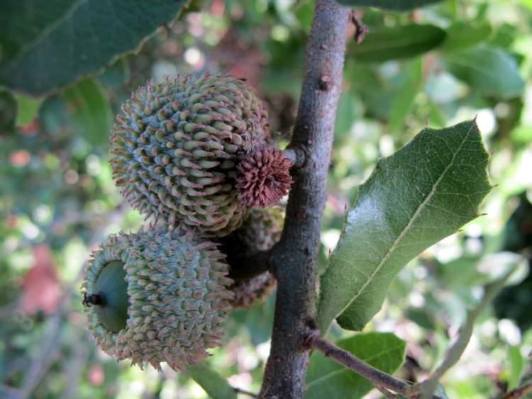Quercus Congesta Quercus coccife...