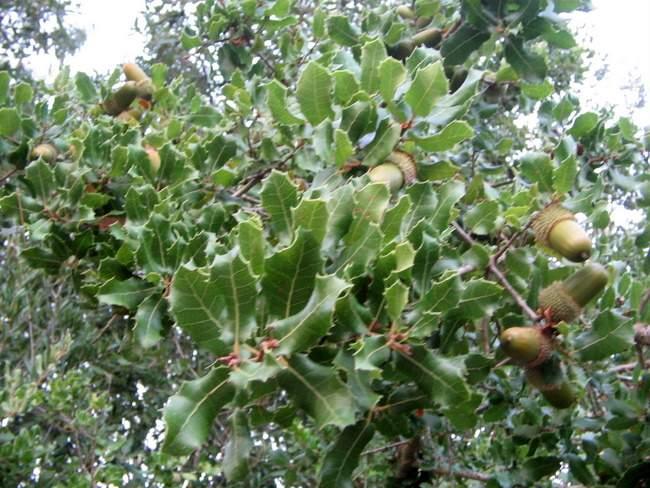 Quercus Congesta Sinonimi e cont...