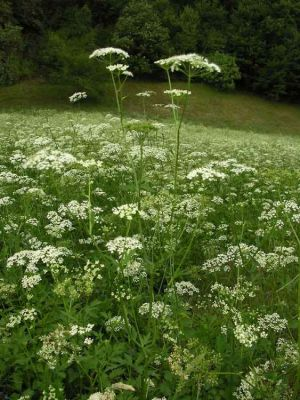 Pimpinella major -