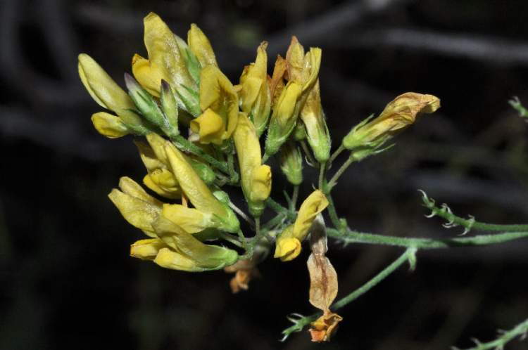 Medicago falcata L.