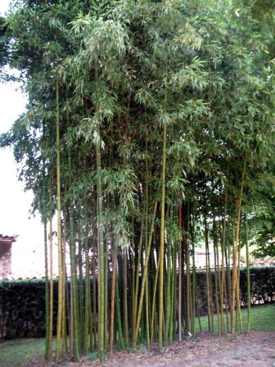 Phyllostachys bambusoides,