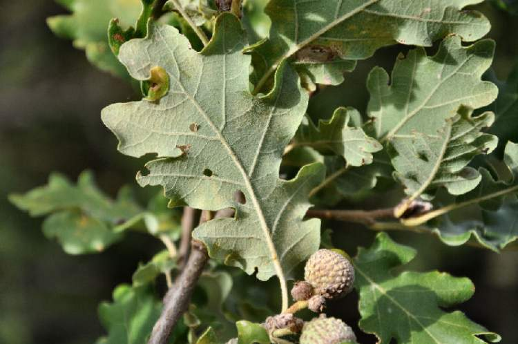 Quercus pubescens Willd.