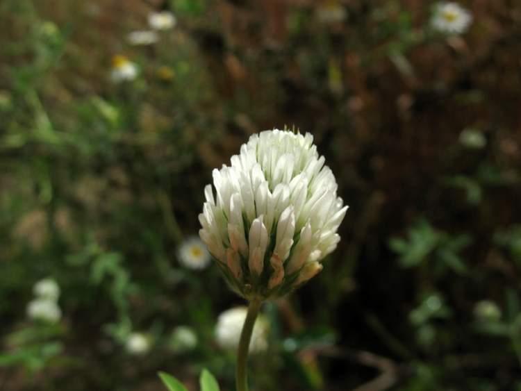 trifolium alexandrinum Gallery
