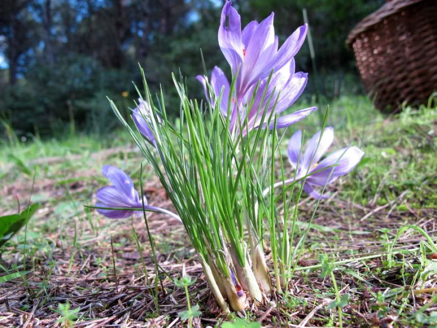 Crocus thomasii Ten.