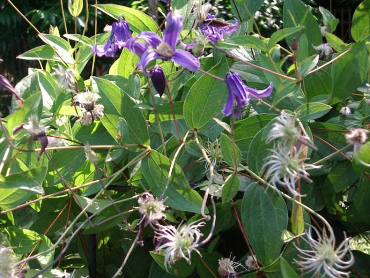 Clematis integrifolia,