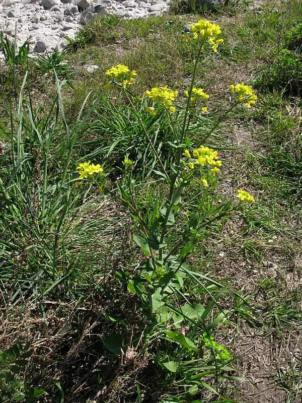 brassica rapa Brassica rapa l is an accepted name this name is  brassica campestris var  rapa (l) chartm synonym, l  brassica campestris subsp rapa (l) hook f.