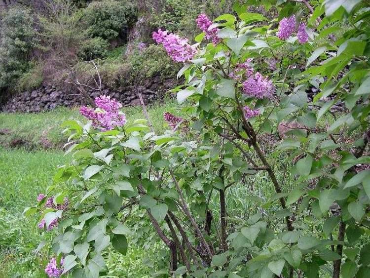 Syringa vulgaris l common lilac - Syringa vulgaris ...