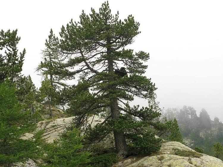 Pinus mugo [Pino mugo]