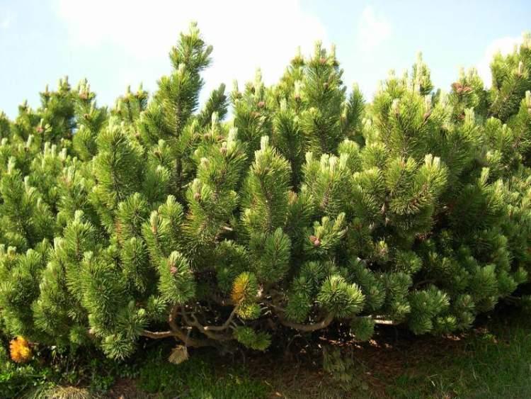 Pino Mugo (Pinus Mugo) Caption: Credit: Photo By Daniela Longo