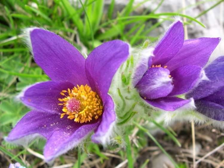 Pulsatilla halleri (All.) Willd.