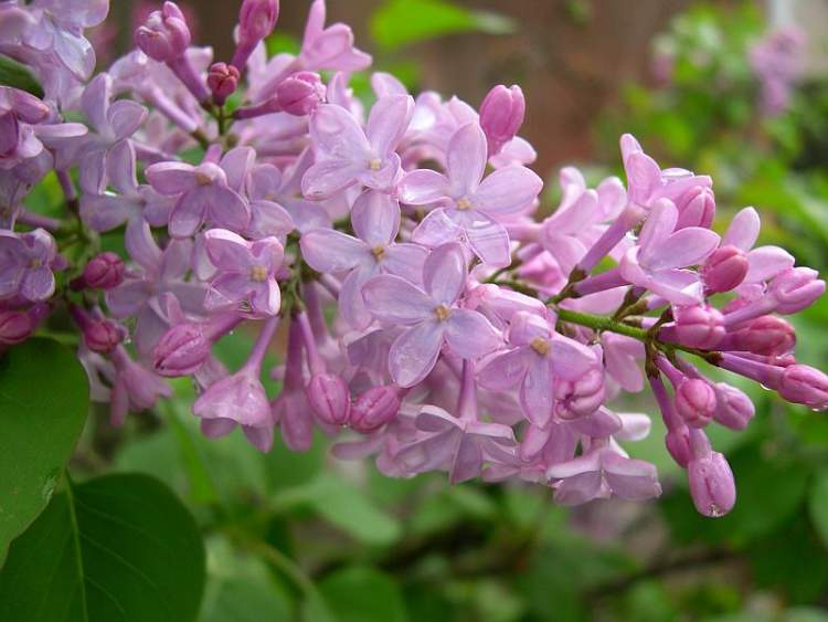 syringa vulgaris l common lilac. Black Bedroom Furniture Sets. Home Design Ideas