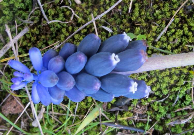 Muscari neglectum Guss.