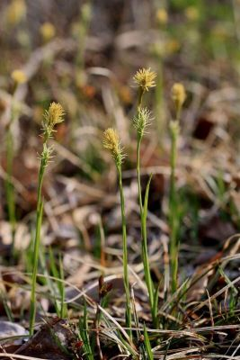 Carex michelii -