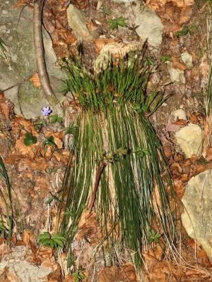 Carex ferruginea subsp. tendae -