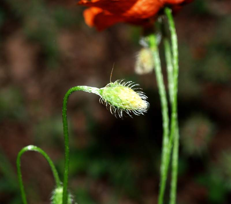 Papaver apulum Ten.