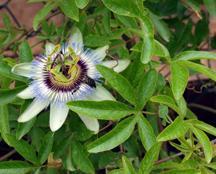 passiflora caerulea l bluecrown passionflower. Black Bedroom Furniture Sets. Home Design Ideas