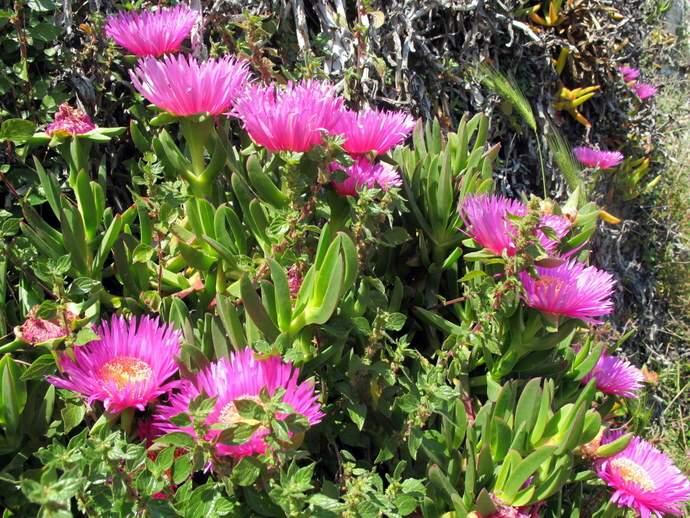 Carpobrotus acinaciformis specie della flora italiana for Fico degli ottentotti