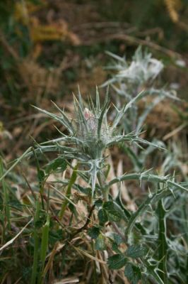Carlina macrocephala -