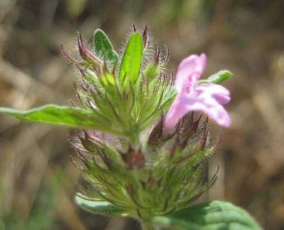 Clinopodium vulgare