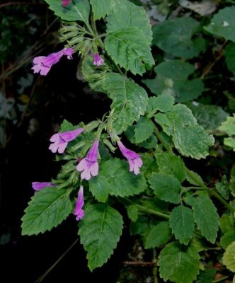 Clinopodium grandiflorum -