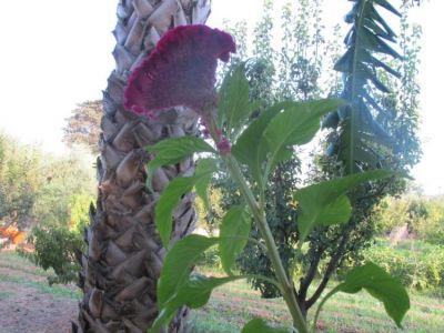 Celosia argentea